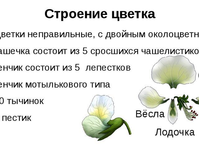 Строение цветка Цветки неправильные, с двойным околоцветником Чашечка состоит...
