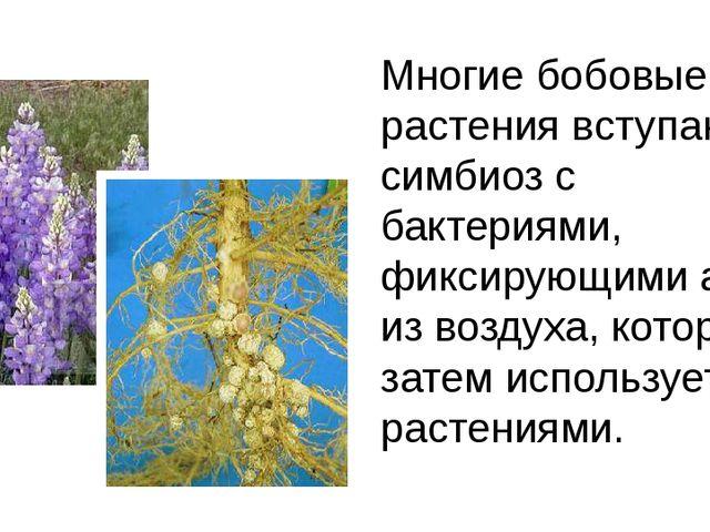 Многие бобовые растения вступают в симбиоз с бактериями, фиксирующими азот из...
