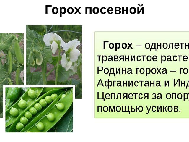 Горох посевной Горох – однолетнее травянистое растение. Родина гороха – горы...