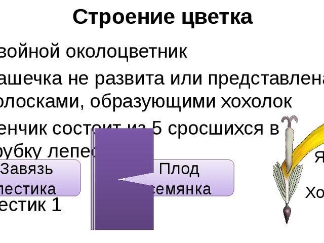 Строение цветка Двойной околоцветник Чашечка не развита или представлена воло...