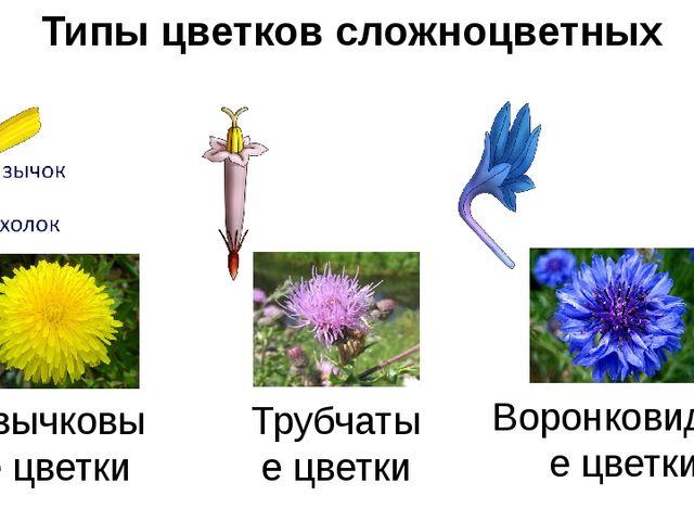 Типы цветков сложноцветных Язычковые цветки Трубчатые цветки Воронковидные цв...