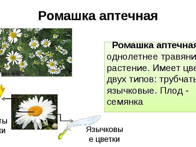 Ромашка аптечная Ромашка аптечная – однолетнее травянистое растение. Имеет цв...