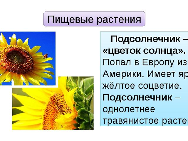 Пищевые растения Подсолнечник – «цветок солнца». Попал в Европу из Америки. И...