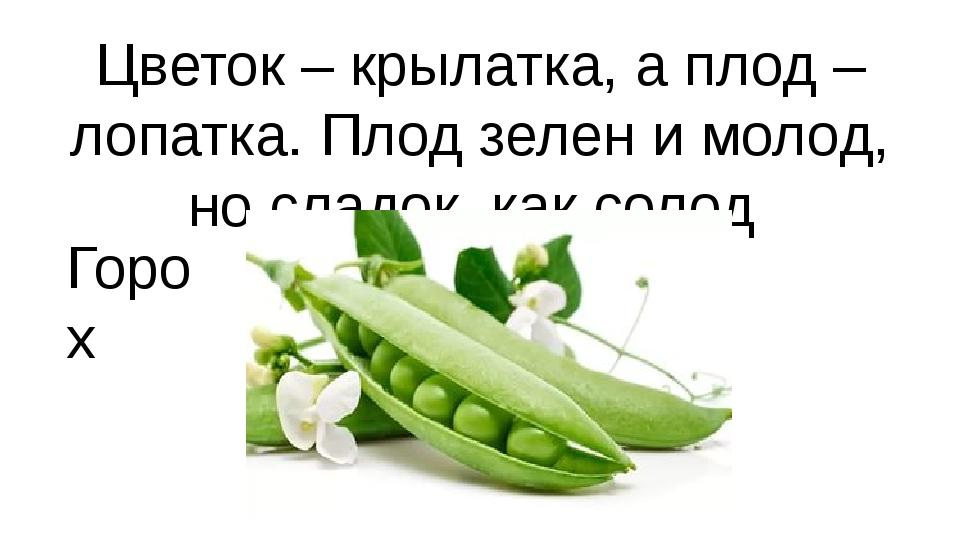 Цветок – крылатка, а плод – лопатка. Плод зелен и молод, но сладок, как солод...