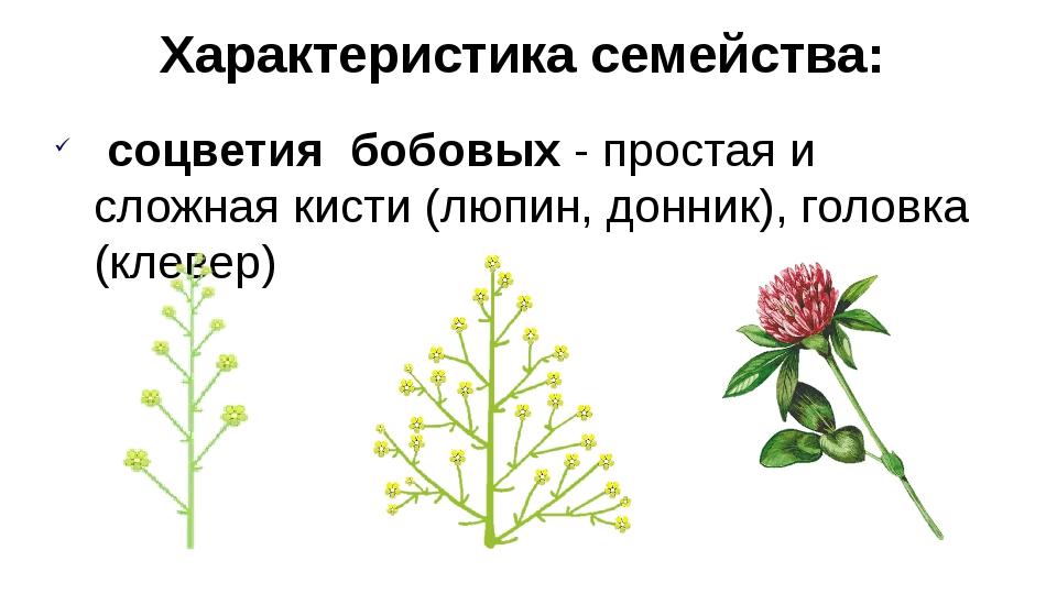 соцветия бобовых - простая и сложная кисти (люпин, донник), головка (клевер)...