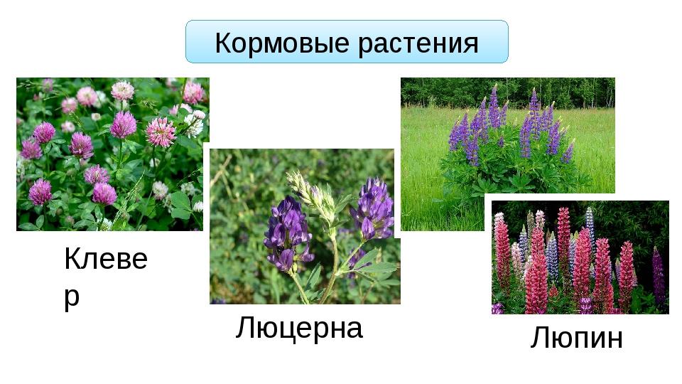 Кормовые растения Клевер Люцерна Люпин