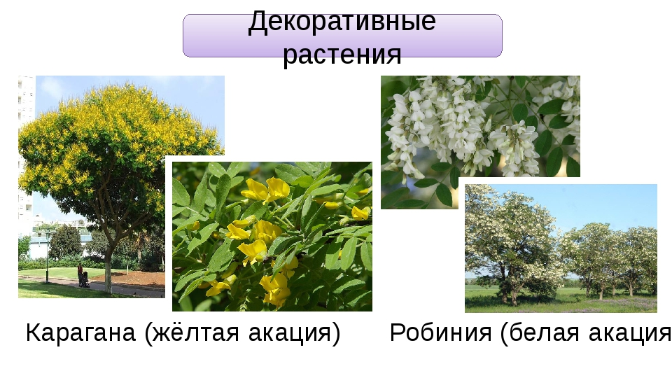 Декоративные растения Карагана (жёлтая акация) Робиния (белая акация)