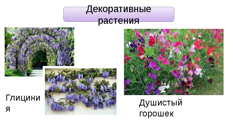 Декоративные растения Глициния Душистый горошек