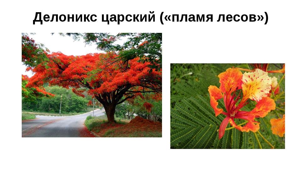 Делоникс царский («пламя лесов»)