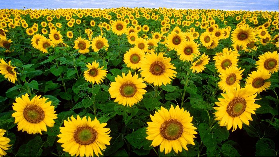 Какое растение, было на родине сорняком, в Европе садовым цветком, а у нас ст...