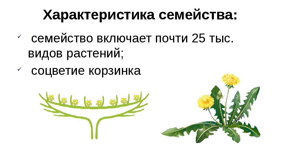 Характеристика семейства: семейство включает почти 25 тыс. видов растений; со...