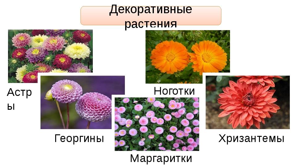 Декоративные растения Астры Георгины Хризантемы Маргаритки Ноготки