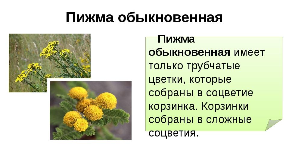 Пижма обыкновенная Пижма обыкновенная имеет только трубчатые цветки, которые...