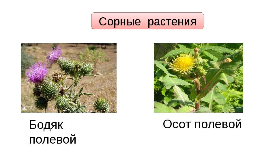 Сорные растения Бодяк полевой Осот полевой