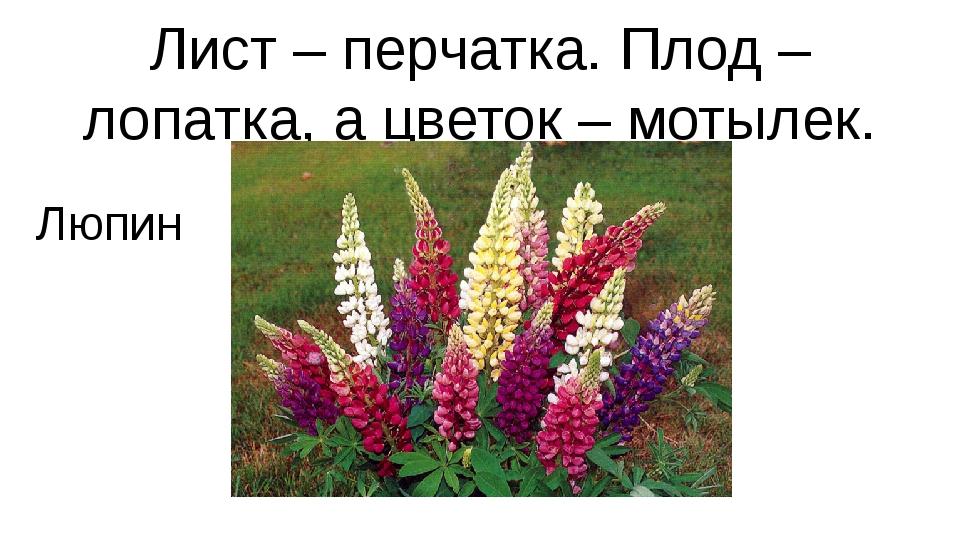 Лист – перчатка. Плод – лопатка, а цветок – мотылек. Люпин