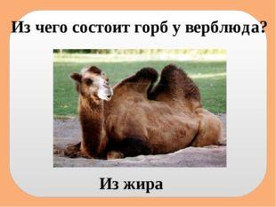 Из чего состоит горб у верблюда? Из жира