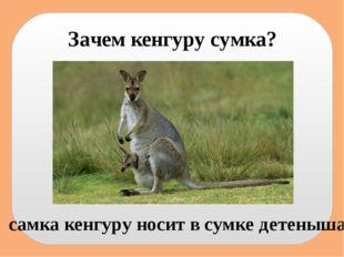 Зачем кенгуру сумка? самка кенгуру носит в сумке детеныша