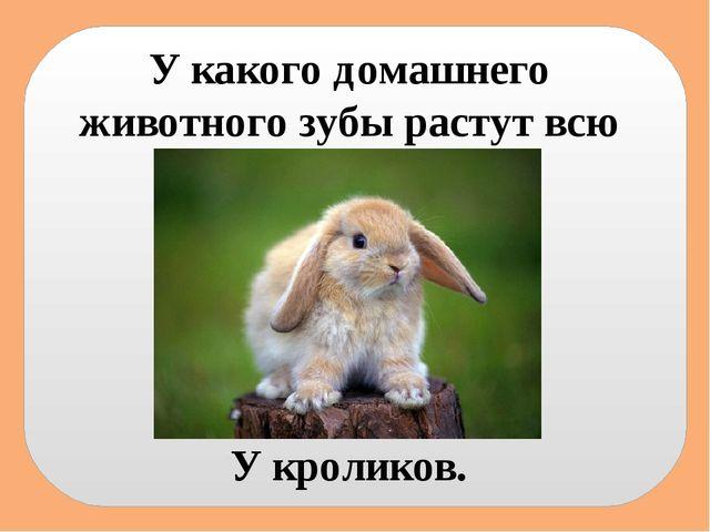У какого домашнего животного зубы растут всю жизнь? У кроликов.