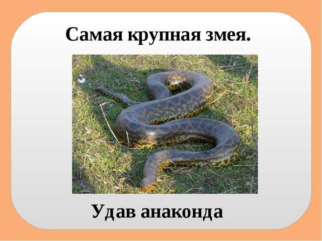 Самая крупная змея. Удав анаконда