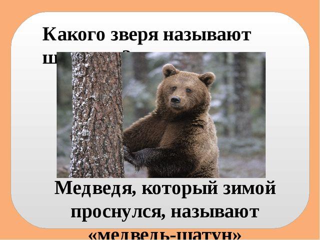 Какого зверя называют шатуном? Медведя, который зимой проснулся, называют «ме...