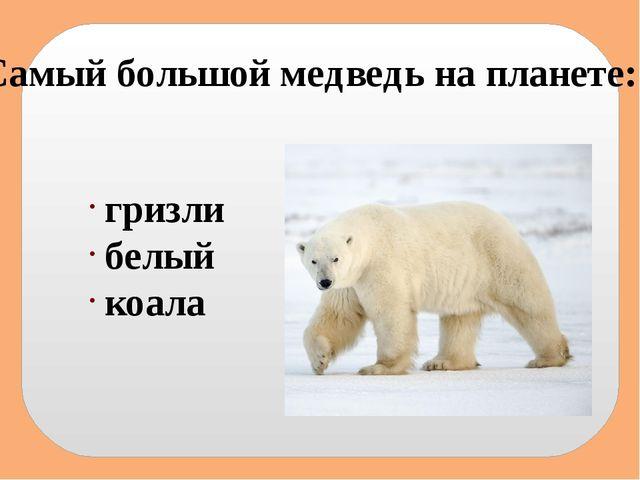 Самый большой медведь на планете: гризли белый коала