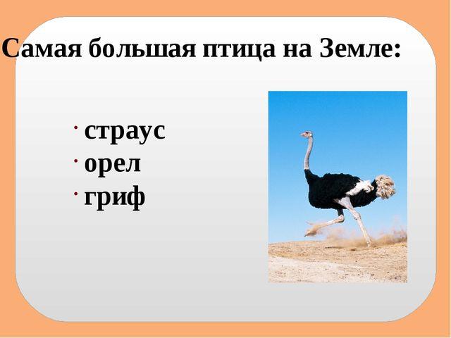 Самая большая птица на Земле: страус орел гриф