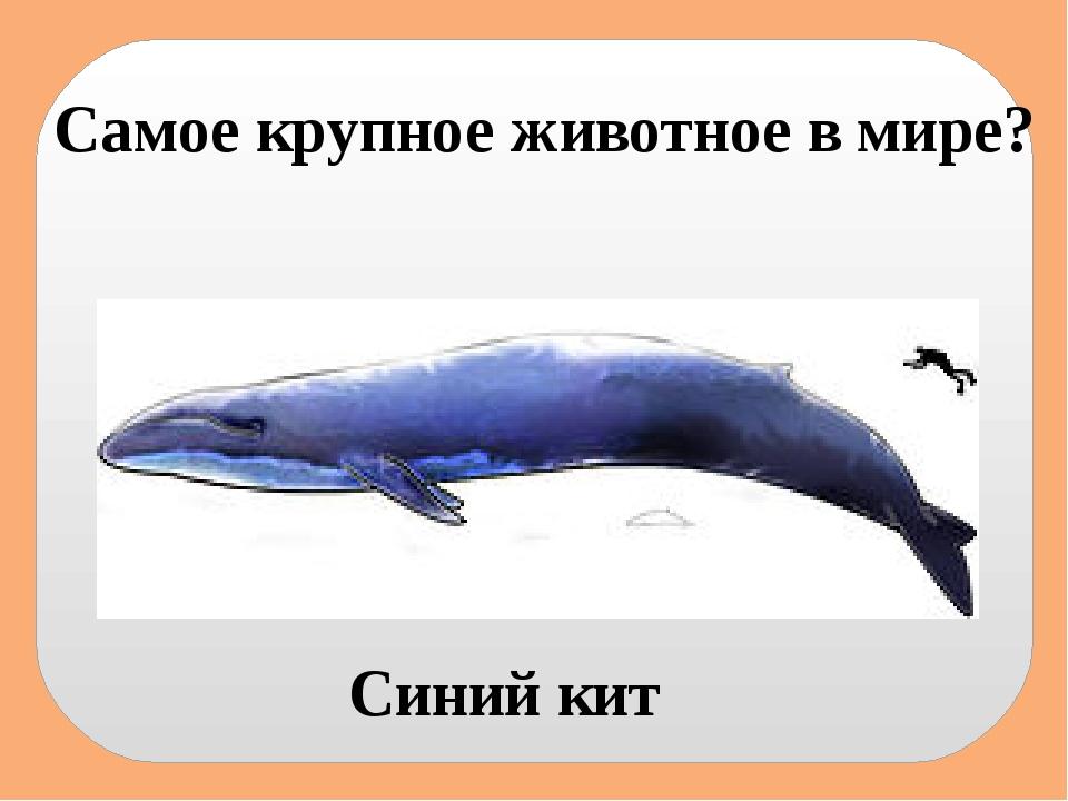 Самое крупное животное в мире? Синий кит