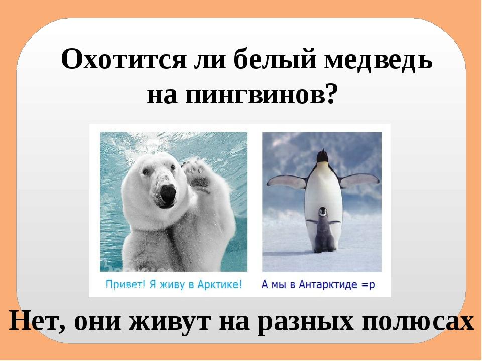 Охотится ли белый медведь на пингвинов? Нет, они живут на разных полюсах