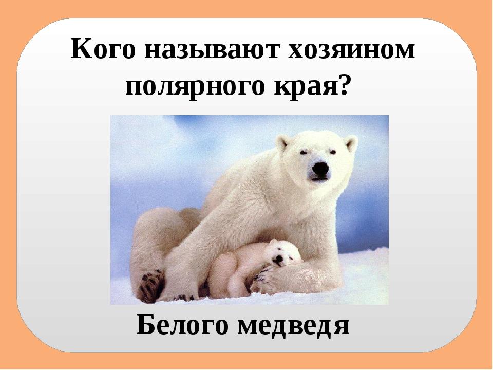 Кого называют хозяином полярного края? Белого медведя