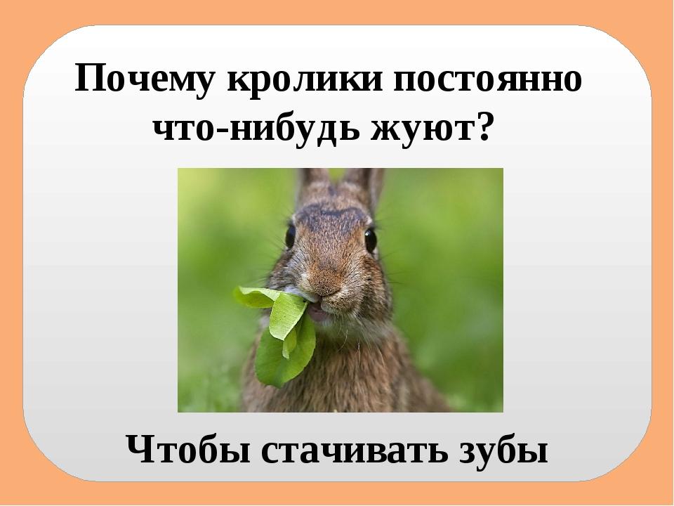 Почему кролики постоянно что-нибудь жуют? Чтобы стачивать зубы