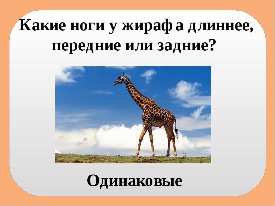 Какие ноги у жирафа длиннее, передние или задние? Одинаковые