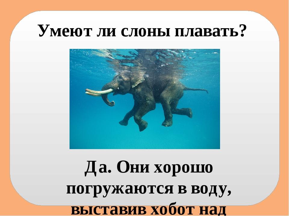 Умеют ли слоны плавать? Да. Они хорошо погружаются в воду, выставив хобот над...