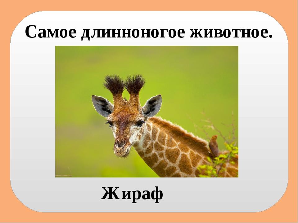 Самое длинноногое животное. Жираф