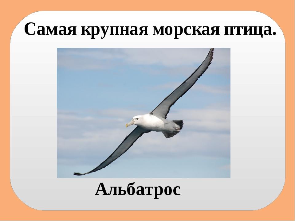 Самая крупная морская птица. Альбатрос