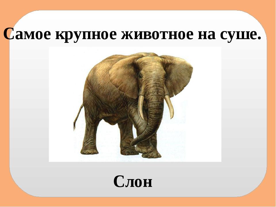 Самое крупное животное на суше. Слон