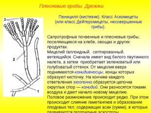 Пеницилл (кистевик). Класс Аскомицеты (или класс Дейтеромицеты, несовершенные