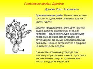 Дрожжи. Класс Аскомицеты. Одноклеточные грибы. Вегетативное тело состоит из
