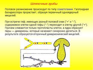 Половое размножение происходит по типу соматогамии. Гаплоидная базидиоспора п
