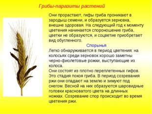Они прорастают, гифы гриба проникают в зародыш семени, и образуется зерновка,