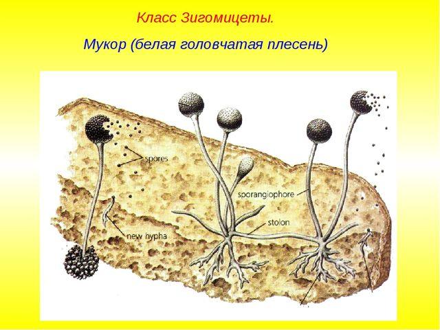 Класс Зигомицеты. Мукор (белая головчатая плесень)