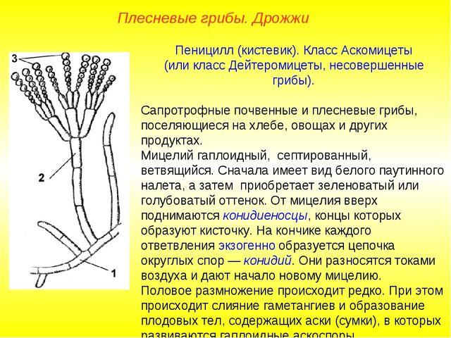 Пеницилл (кистевик). Класс Аскомицеты (или класс Дейтеромицеты, несовершенные...