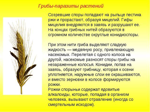 Созревшие споры попадают на рыльце пестика ржи и прорастают, образуя мицелий....