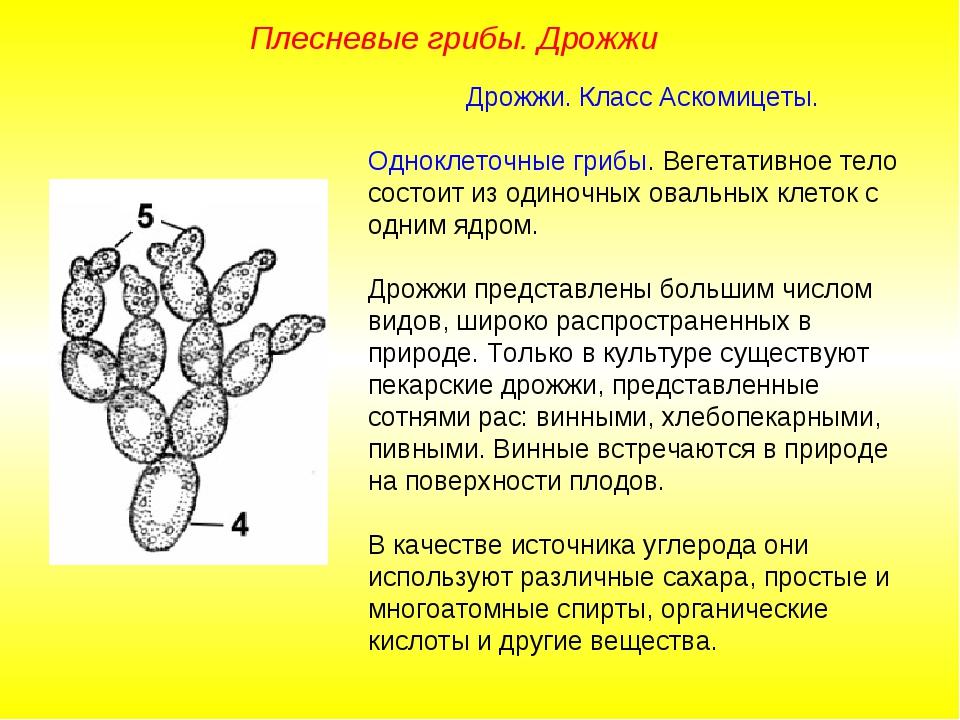 Дрожжи. Класс Аскомицеты. Одноклеточные грибы. Вегетативное тело состоит из...