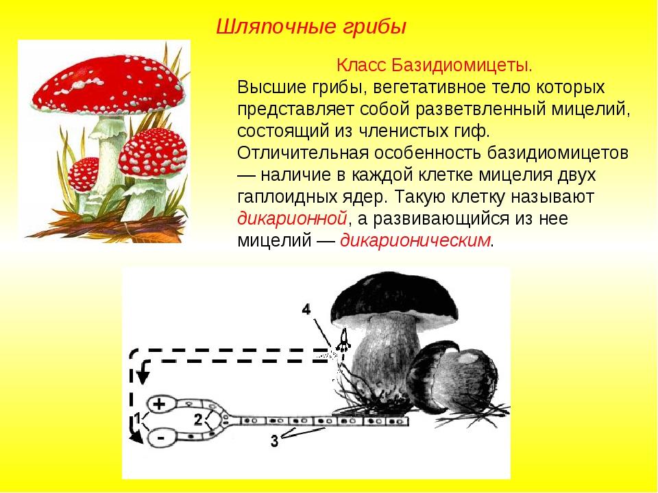Класс Базидиомицеты. Высшие грибы, вегетативное тело которых представляет соб...