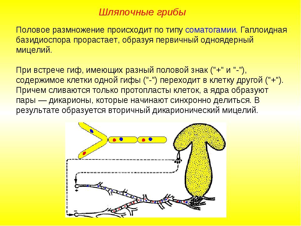Половое размножение происходит по типу соматогамии. Гаплоидная базидиоспора п...