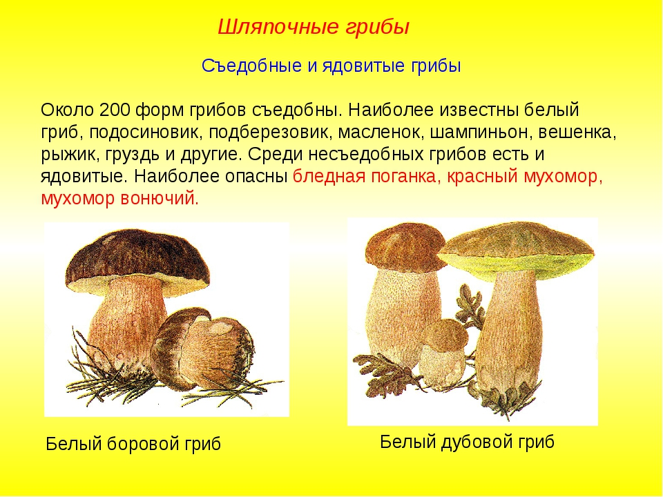 Съедобные и ядовитые грибы Около 200 форм грибов съедобны. Наиболее известны...