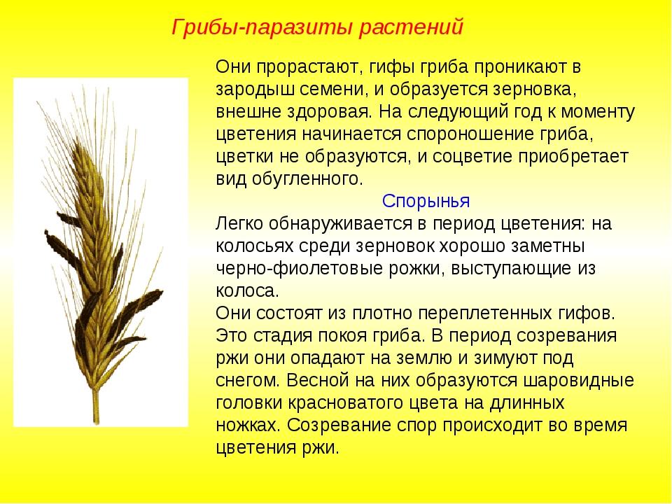 Они прорастают, гифы гриба проникают в зародыш семени, и образуется зерновка,...