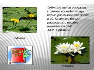 """""""Жёлтые лилии раскрыты с самого восхода солнца, белые раскрываются часов в 10"""