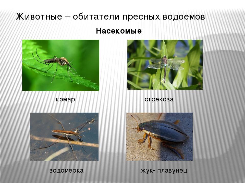 Животные – обитатели пресных водоемов Насекомые комар стрекоза водомерка жук-...
