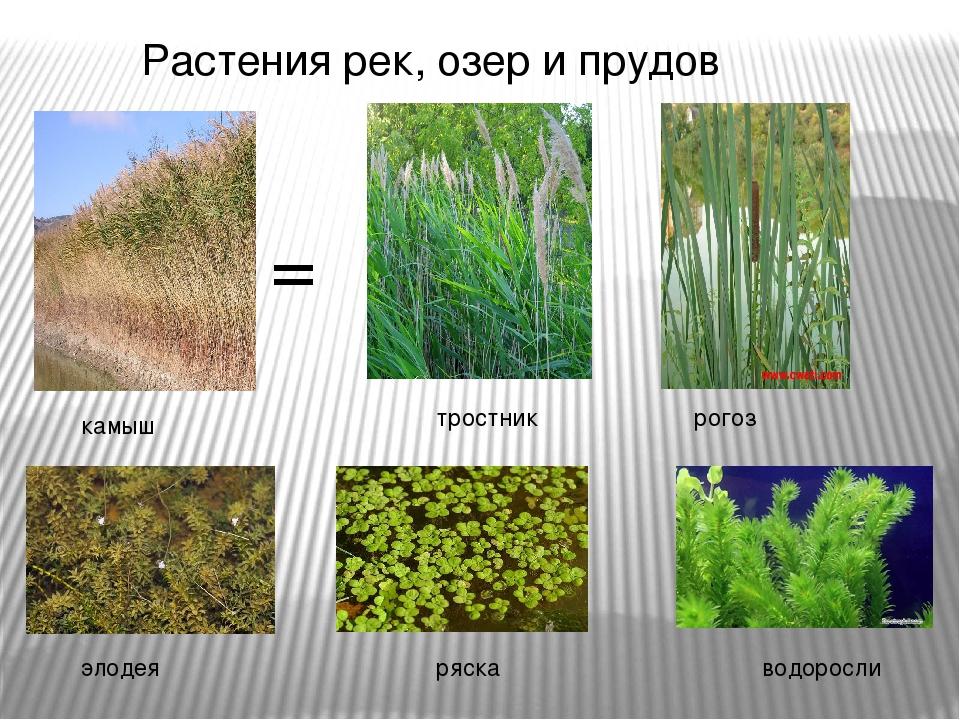 Растения рек, озер и прудов тростник рогоз элодея ряска камыш водоросли =